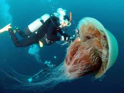 giant monster jellyfish japan